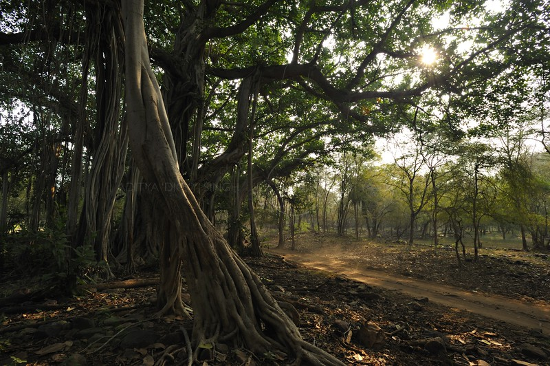 Banyan tree next to a forest track in Ranthambhore