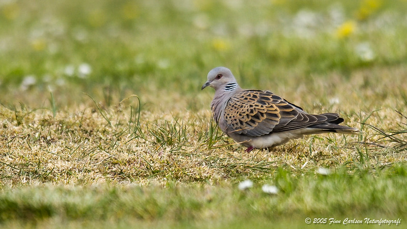 Turteldue - Streptopelia turtur - European turtle-dove