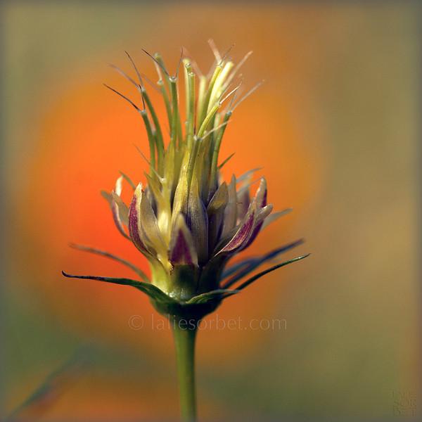 Baroque beauty of a flower without its petals. La beauté baroque d'une fleur sans ses pétales.