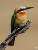 White-fronted Bee-eater Profile