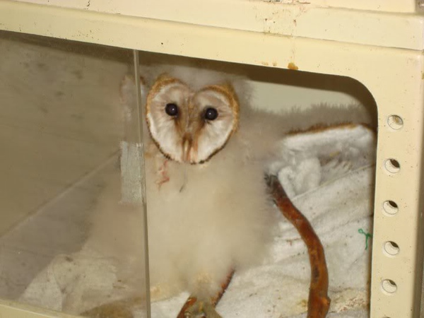 2nd Injured Barn Owlet Rescued  2 Day Rescue