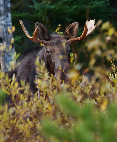 Moose bull called in Dumbell Rd Superior National Forest MN nr Isabella IMG_0066747.jpg