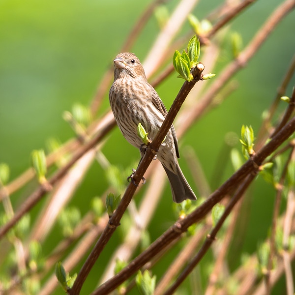 Mrs. Red House Finch