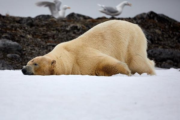 Yoga Bear Svalbard Norway 2018