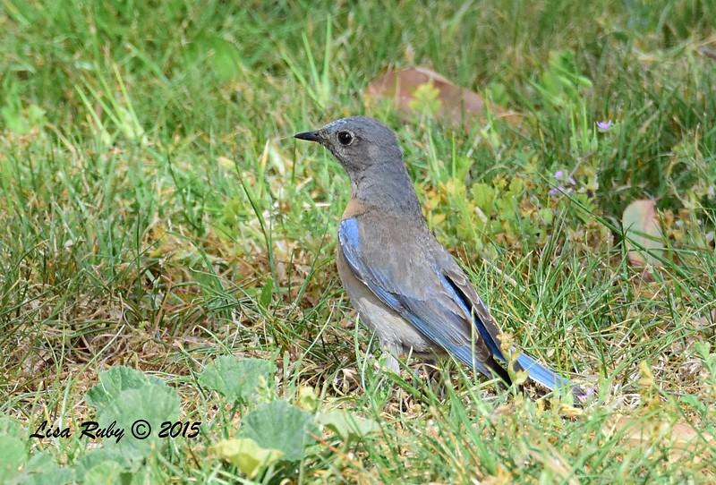 Female Western Bluebird - 3/29/2015 - Poggi Canyon area