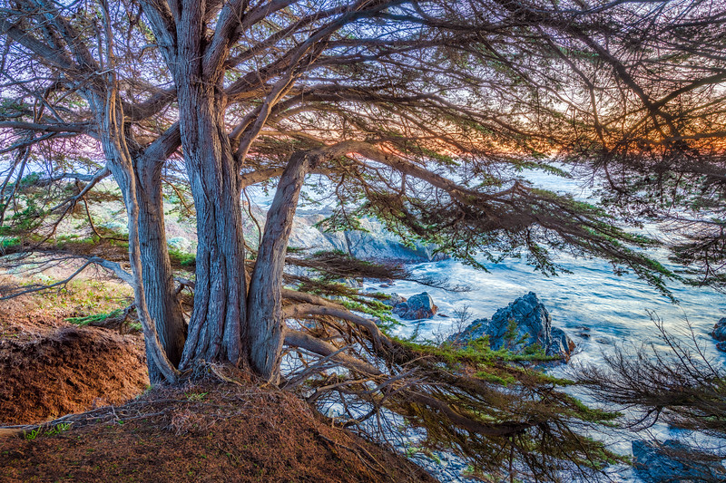 Bluff Cypress at Sunset, Sea Ranch, CA