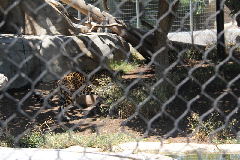 20170807-100 - San Diego Zoo - Leopard.JPG