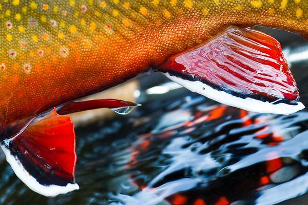 Eastern Brook Trout - Photo by Jim Klug. Klug Photos. Fly fishing photos, fly fish photos, stock fly fishing photos, fly fishing travel photos.
