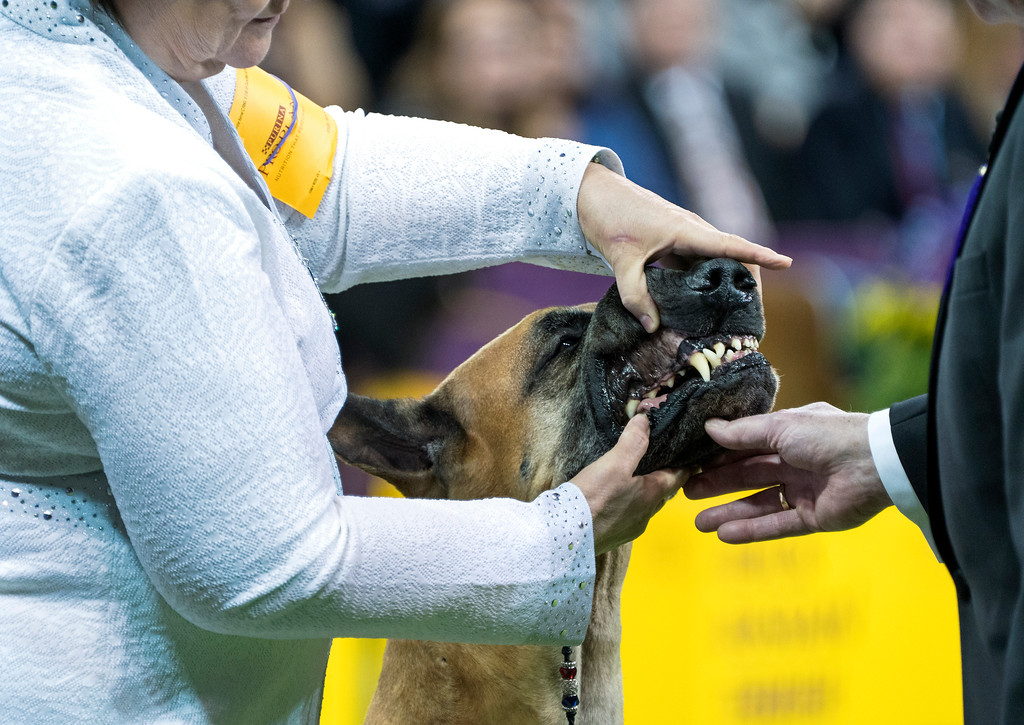 . A great Dane named Zephyr is judged during the working group portion of the 142nd Westminster Kennel Club Dog Show, Tuesday, Feb. 13, 2018, at Madison Square Garden in New York. (AP Photo/Craig Ruttle)