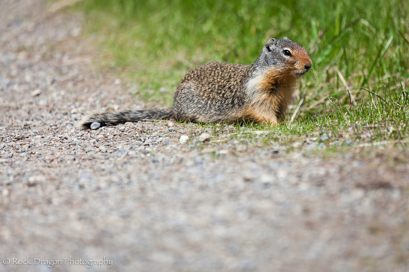 A Prairie Dog at Two Jack Lake in Banff National Park.