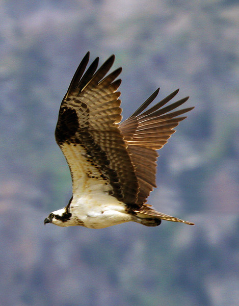 ospreyflyingwingsup.jpg