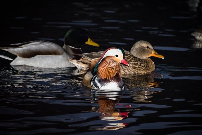 2018 12-11 Mandarin Duck Central Park NYC-29_Full_Res.jpg