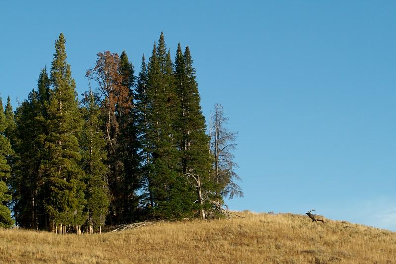 Elk landscape Yellowstone NP WY IMG_0001612.jpg