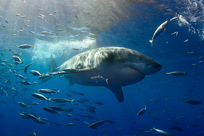 Guadalupe Great White Sharks 2019-10