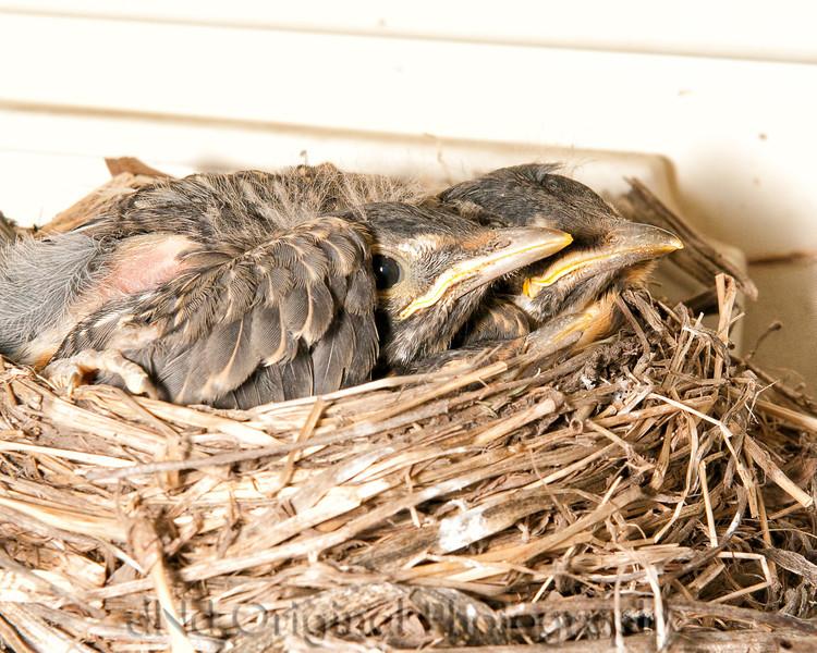 083 Baby Robins Spring 2013.jpg