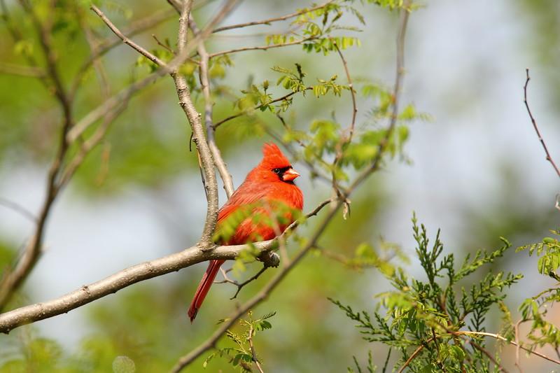 Northern Cardinal (Cardinalis cardinalis) warming up in the sun. Newport News, VA. © 2007 Kenneth R. Sheide