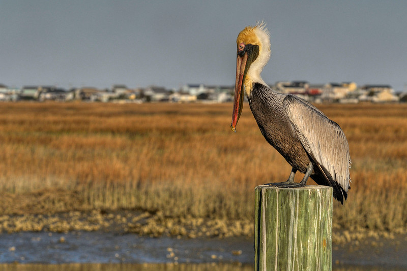 A pelican perches atop a pole along The Marshwalk in Murrells Inlet, SC on Sunday, February 12, 2012. Copyright 2012 Jason Barnette