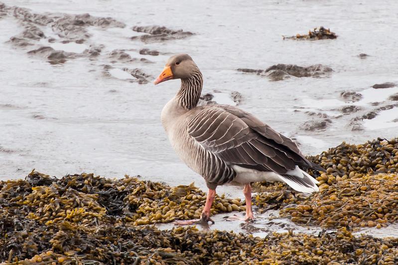 Greylag Goose - Borgarnes, Iceland