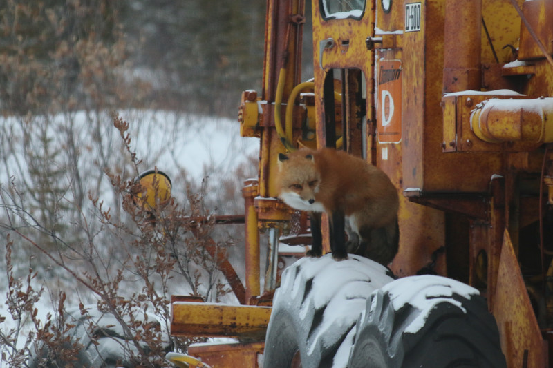 Curious red fox on machinery