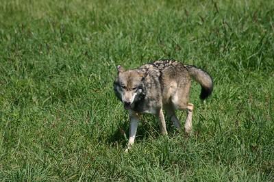 Wolf Park 08/2004