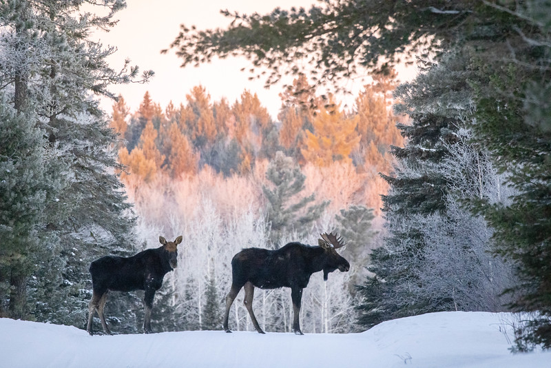 Moose pair bulls Sawbill Trail Cook County MN  IMGC7152.jpg