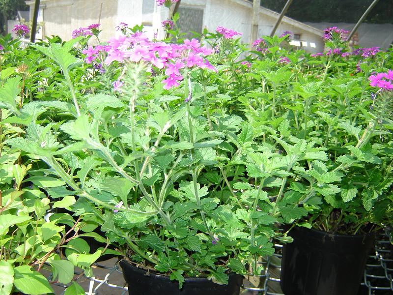 "Verbena 'Homestead Purple'  Exposure: Sun; Bloom Color: Purple; Bloom Time: Spring - Fall; Mature Height: 8"""