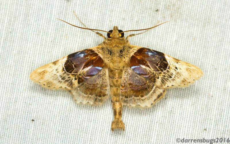 Erebid moth (Erebidae: Eulepidotinae) from Panama.