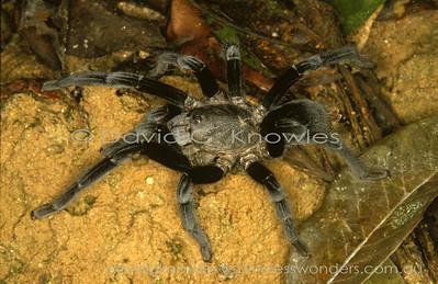 South East Asian Spiders Theraphosidae (Tarantulas, Bird-eating Spiders, Bird Spiders)