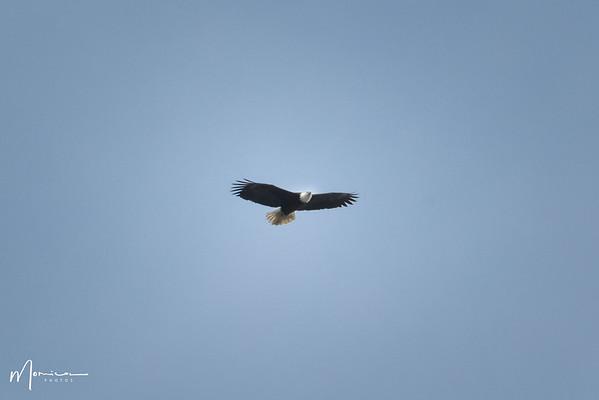 2021 - Bald Eagle