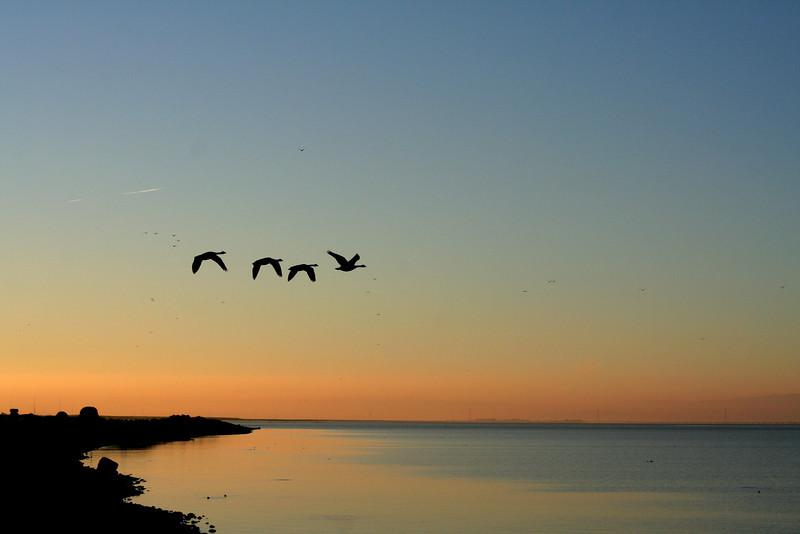 Canada geese at sunrise from Marina Park, San Leandro, CA