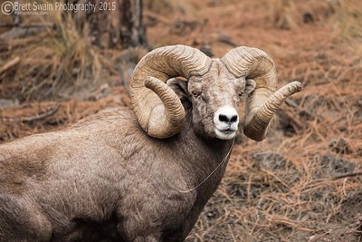 World Record Bighorn Ram