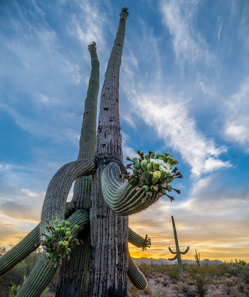 I-11 - Flowering Old Saguaro at Dawn #3