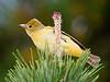 summer tanager, female, spring, LI, NY