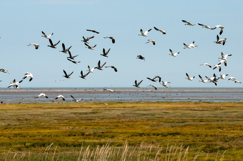 Flying tundra swans at the shore of Hudson Bay in Manitoba, Canada