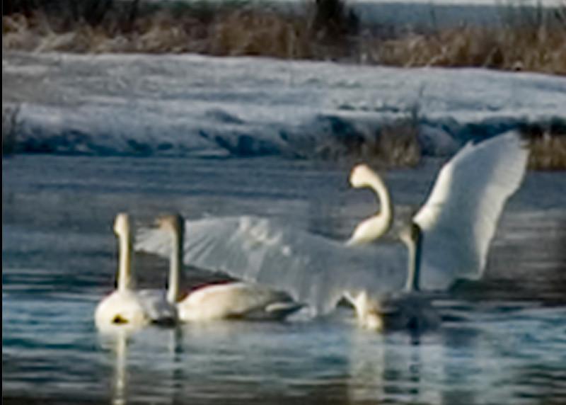 swan close up 5x7_DSC3974.jpg
