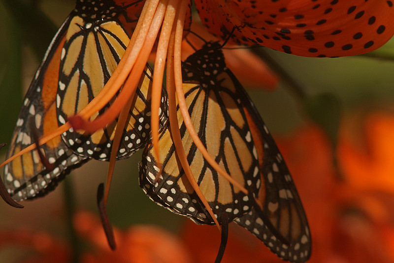 Monarchs, Turtle Bay Butterfly Garden, Redding CA