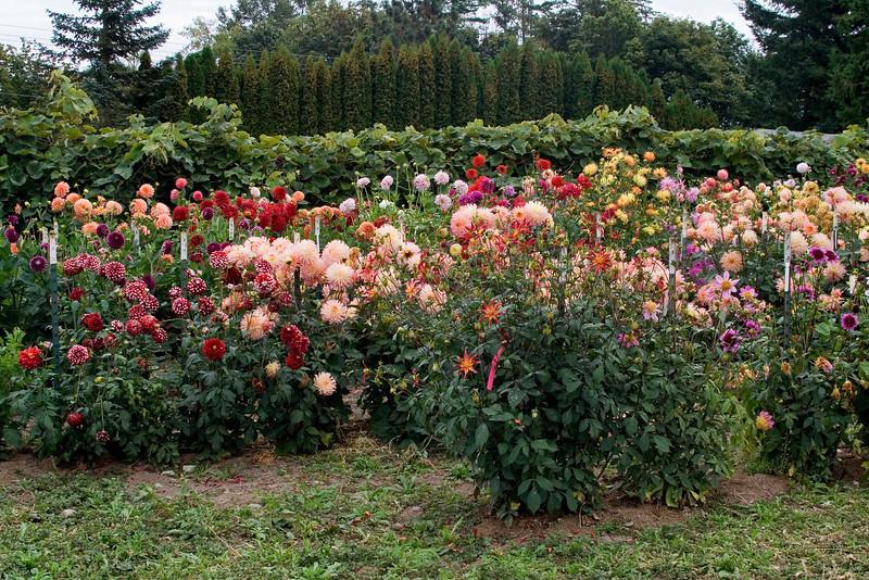 Dahlia Garden 1.jpg