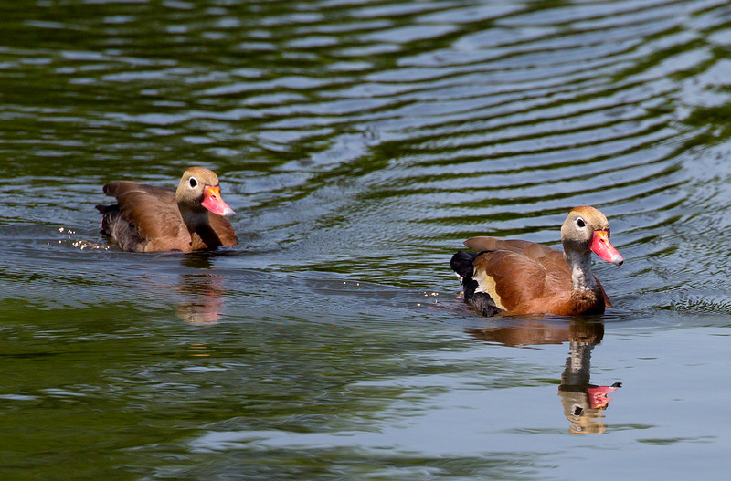 Two Black-Bellied Whistling Ducks.