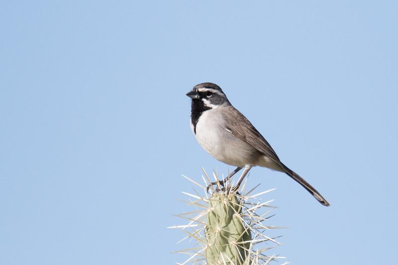 Black-throated Sparrow Saguaro NP 2020-1.jpg