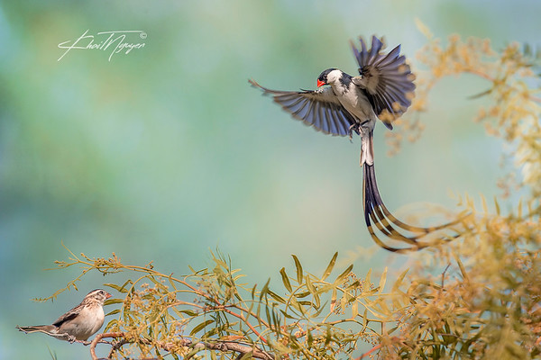 PinTailed_Whydah