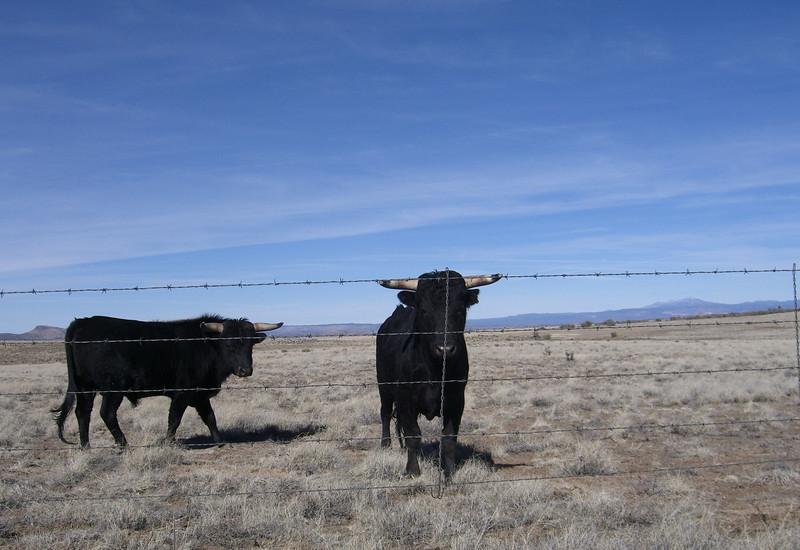 bulls on outer loop road.jpg