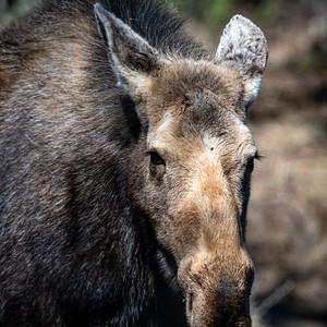 4-28-20 Female Moose