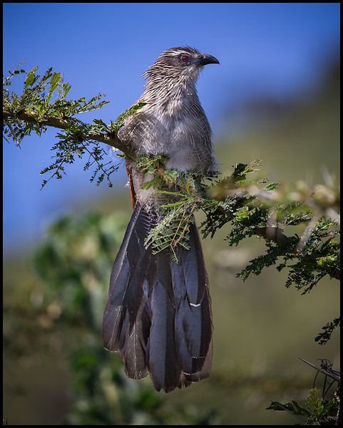 White browed coucal, Ngorongoro Conservation Area