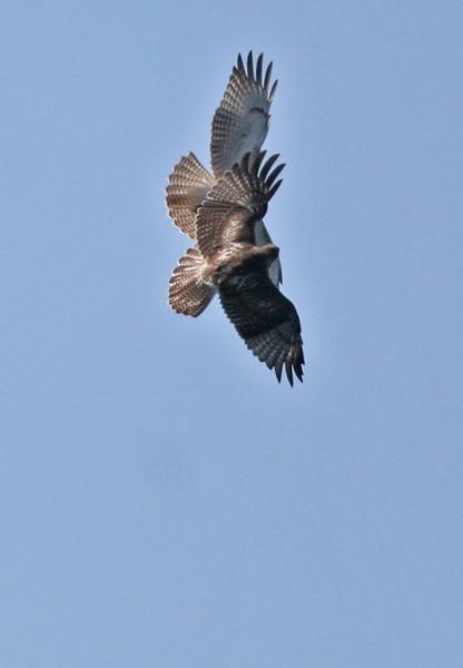 Red-tailed Hawk Acrobatics