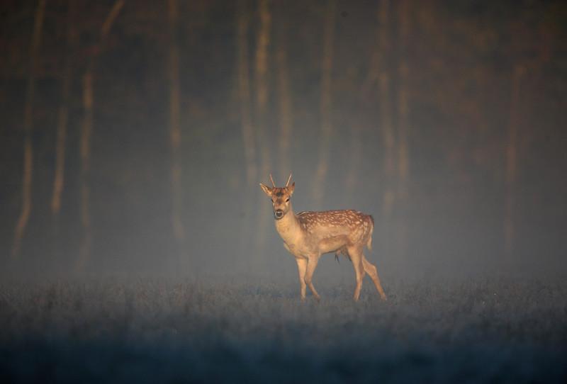105 - Fallow Deer (4).jpg