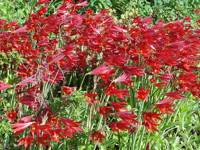 oxblood-lily-is-a-beautiful-substitute-lily-of-the-south