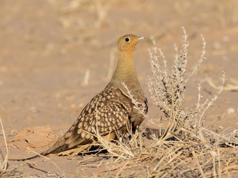Namaqua Sandgrouse