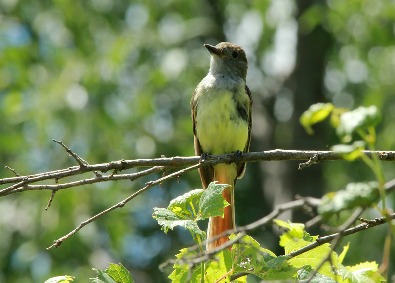 Great-crested Flycatcher (Juvenile) @ Big Muddy NFWR [Cora Island Unit]