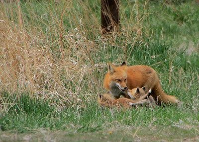 Fox Kits Summer 2010
