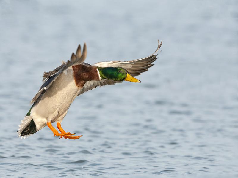 Mallard Drake Landing.jpg